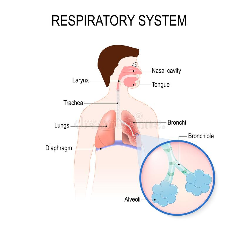 Respiratory system. human anatomy. royalty free illustration
