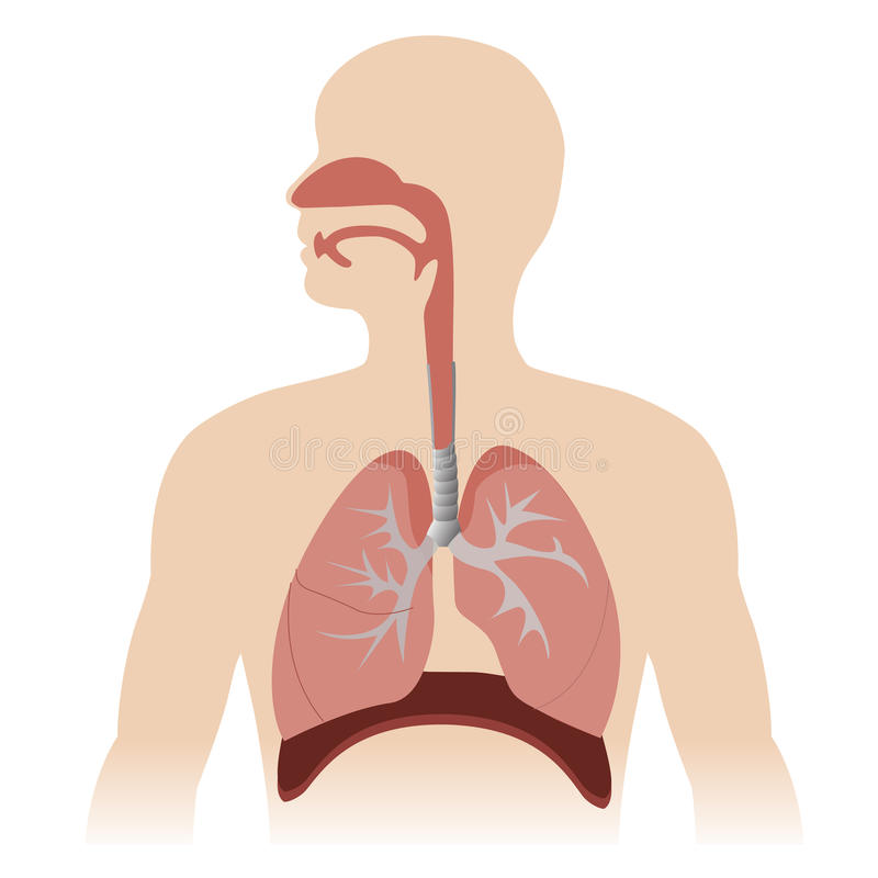 Respiratory system royalty free illustration