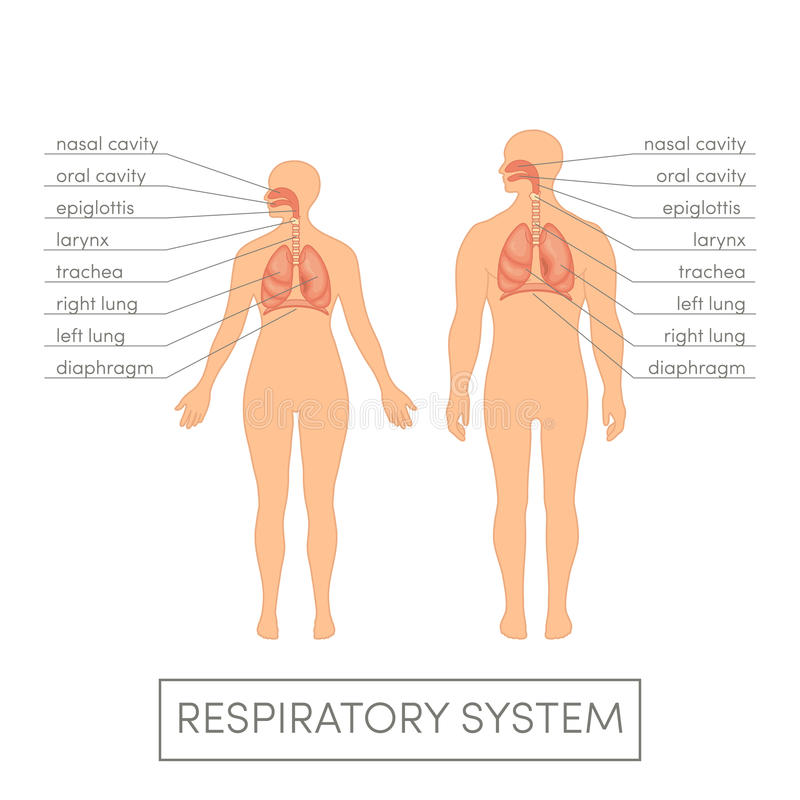 Respiratory system stock illustration. Illustration of left - 66046855