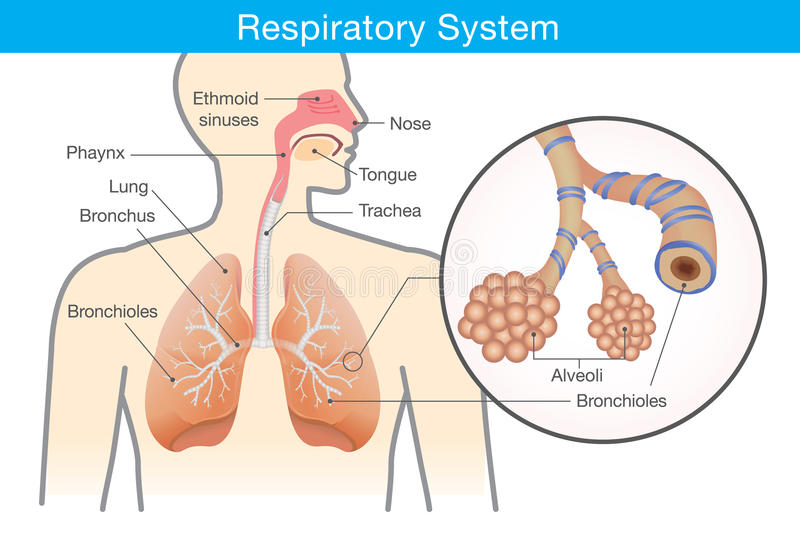 Respiratory system of human. royalty free illustration