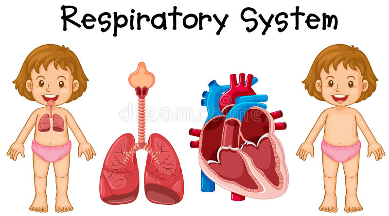 Respiratory system in little girl royalty free illustration