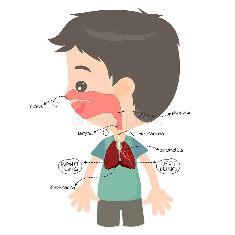 Respiratory tract. To facilitate the child in learning royalty free illustration
