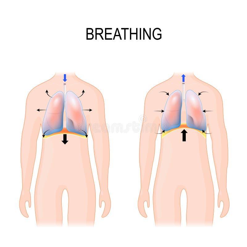 respirazione Movimento della gabbia toracica durante inspirazione e l'espirazione funzioni del diaframma illustrazione vettoriale