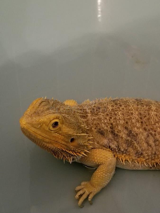 Resplandor, el dragón barbudo fotografía de archivo