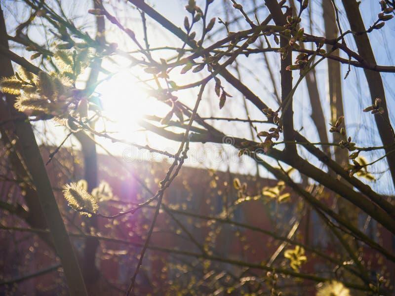Resplandor solar a través de un árbol floreciente fotografía de archivo