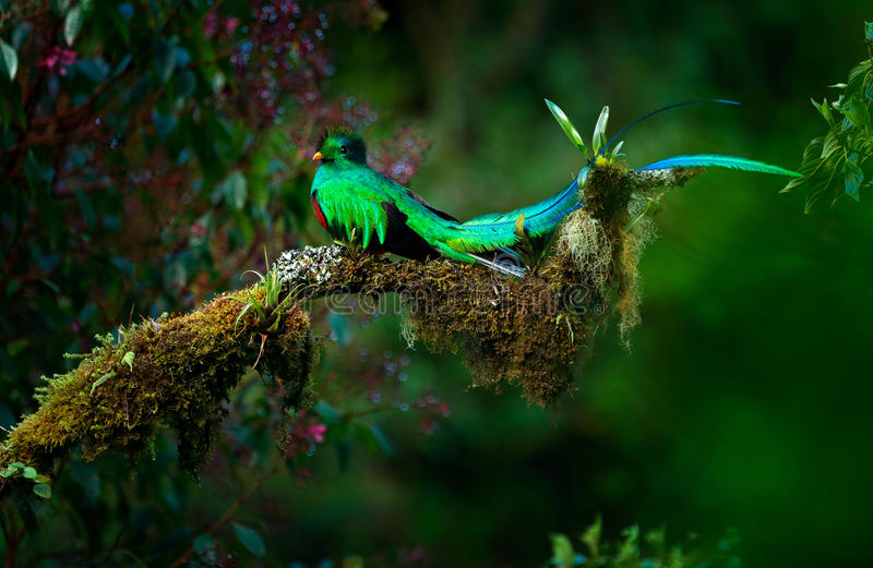 Resplendent Quetzal, Pharomachrus mocinno, magnificent sacred green bird from Savegre in Panama. Rare magic animal in mountain tro. Pic forest royalty free stock photos