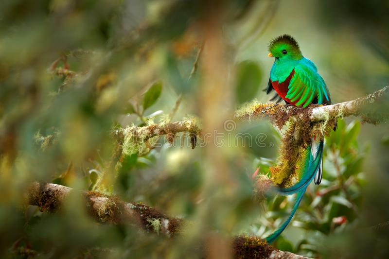 Resplendent Quetzal, Savegre in Costa Rica with green forest in background. Magnificent sacred green and red bird. Detail portrait royalty free stock image