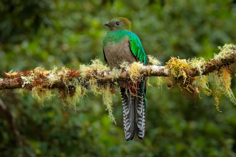 Resplendent Quetzal, Savegre in Costa Rica with green forest in background. Magnificent sacred green and red bird. Detail portrait royalty free stock photo