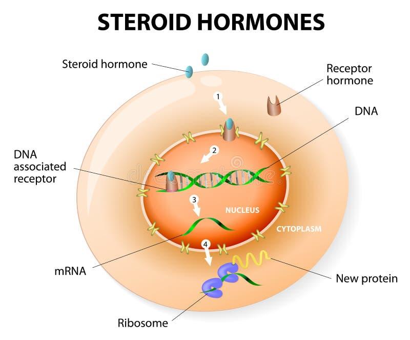 Respuesta de las hormonas esteroides. Vector ilustración del vector