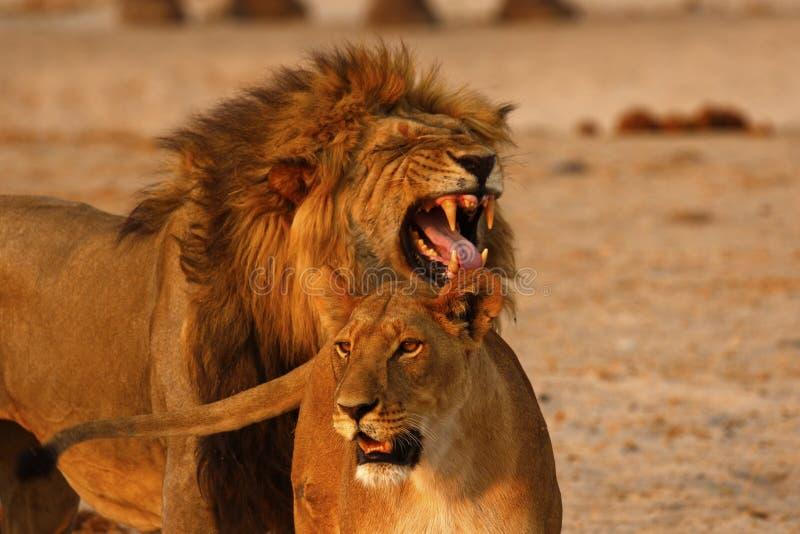Respuesta magnífica de Flehmen de los leones fotos de archivo