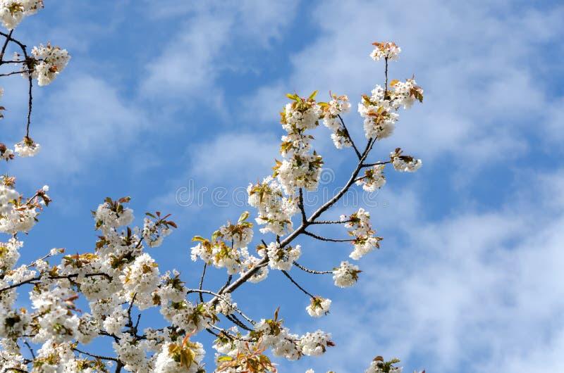 Download Ressort photo stock. Image du lame, cerise, ressort, ciel - 45350962