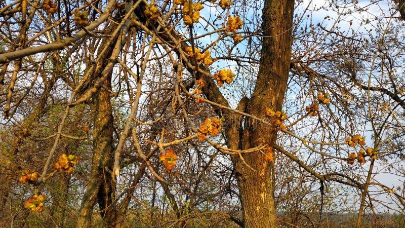 Ressort Bourgeons sur l'arbre Arbre de ressort contre le ciel bleu images stock