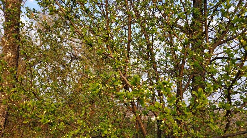 Ressort Bourgeons sur l'arbre Arbre de ressort contre le ciel bleu image libre de droits