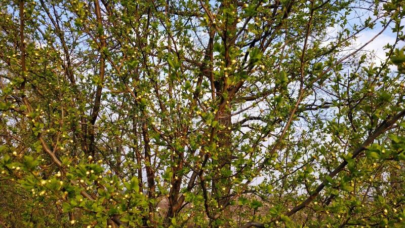 Ressort Bourgeons sur l'arbre Arbre de ressort contre le ciel bleu photos libres de droits