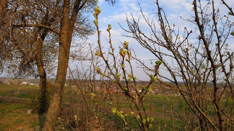 Ressort Bourgeons sur l'arbre Arbre de ressort contre le ciel bleu photos stock