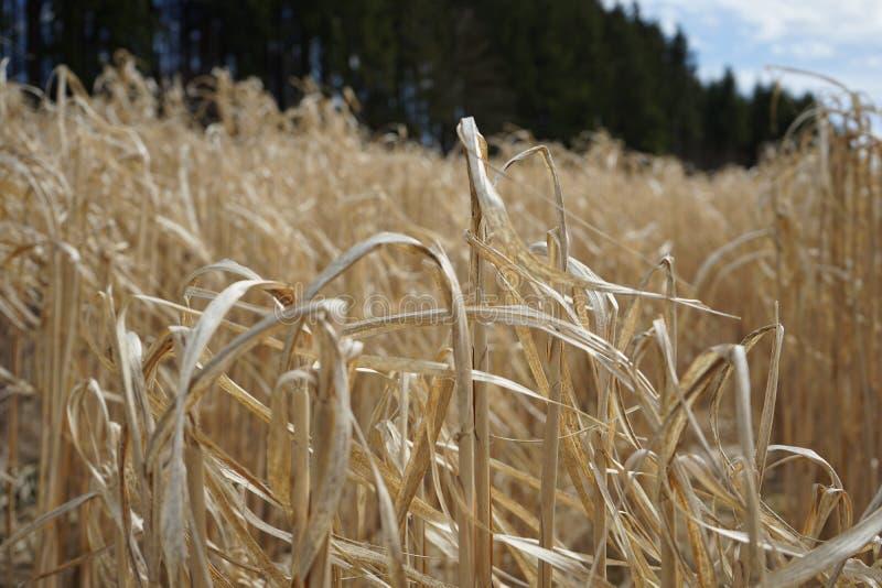 Ressort de champ de maïs photos libres de droits