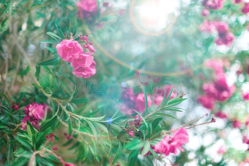 Ressort de fleur, été exotique, concept de jour ensoleillé L'oléandre rose de floraison fleurissent ou nerium dans le jardin Fleu images stock