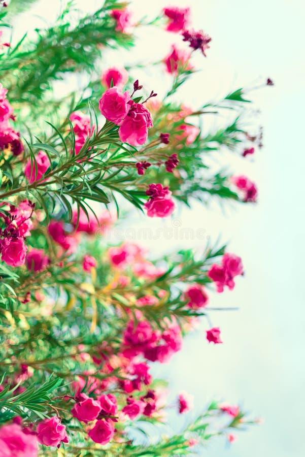 Ressort de fleur, été exotique, concept de jour ensoleillé L'oléandre rose de floraison fleurissent ou nerium dans le jardin Fleu photo libre de droits