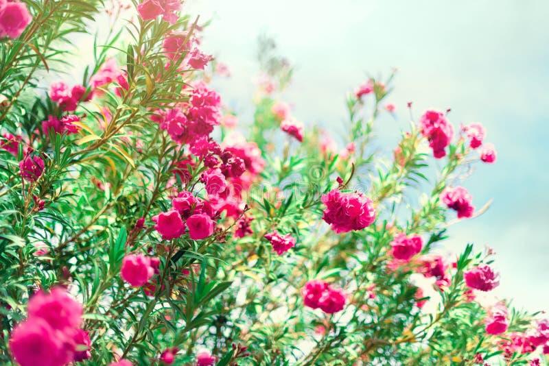 Ressort de fleur, été exotique, concept de jour ensoleillé L'oléandre rose de floraison fleurissent ou nerium dans le jardin Fleu photos stock