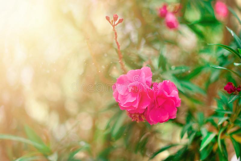 Ressort de fleur, été exotique, concept de jour ensoleillé L'oléandre rose de floraison fleurissent ou nerium dans le jardin Fleu photographie stock libre de droits