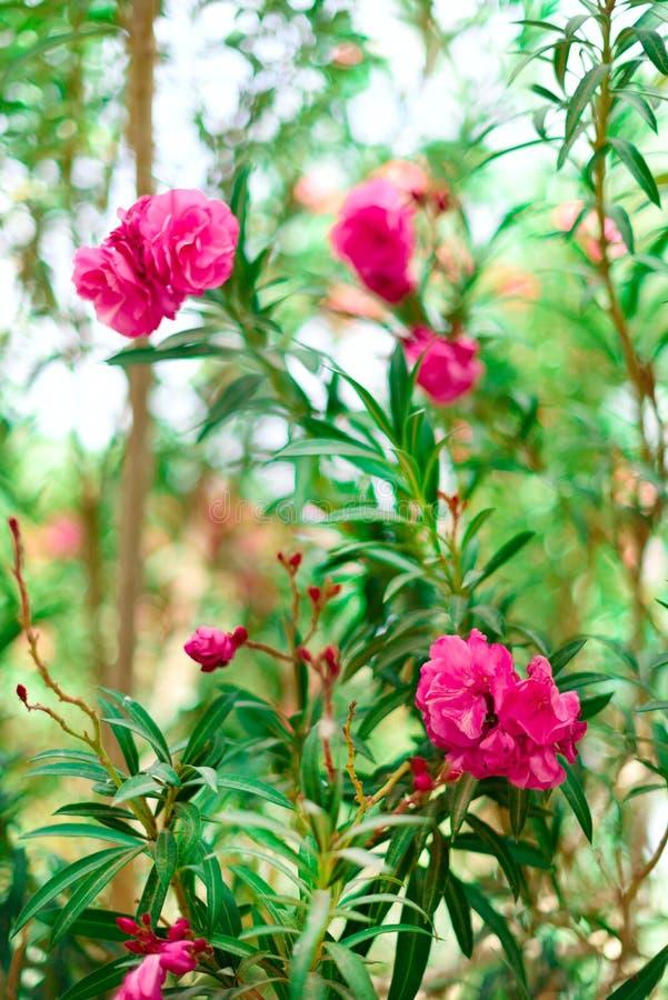 Ressort de fleur, été exotique, concept de jour ensoleillé L'oléandre rose de floraison fleurissent ou nerium dans le jardin Fleu photo stock