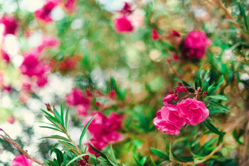 Ressort de fleur, été exotique, concept de jour ensoleillé L'oléandre rose de floraison fleurissent ou nerium dans le jardin Fleu image stock