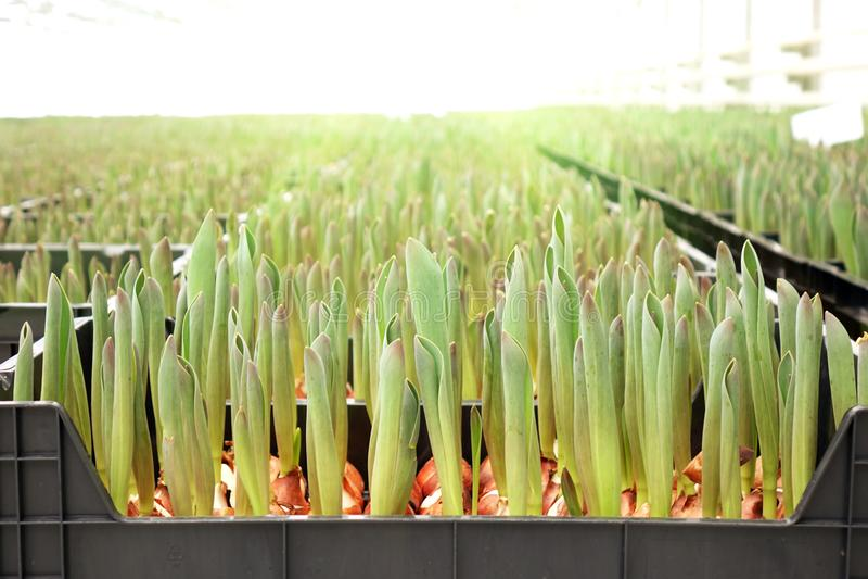 Ressort de jeune plante de serre chaude d'agro-industrie photos stock