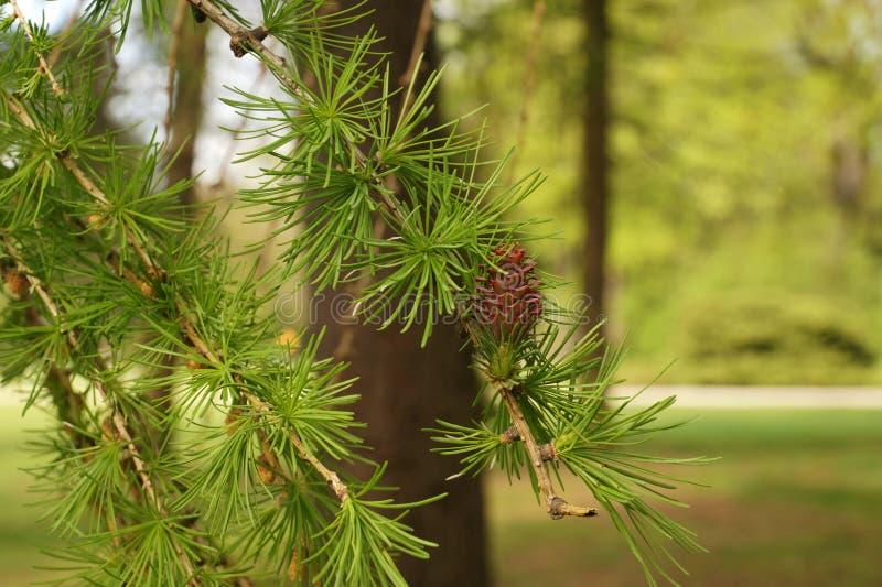 Ressort en parc Les nouvelles aiguilles apparaissent sur les branches du mélèze photo libre de droits