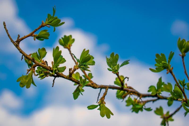 Ressort et fond très beau d'été, jeunes branches contre le ciel bleu avec des nuages et doucement feuilles de vert de curr noir photos libres de droits