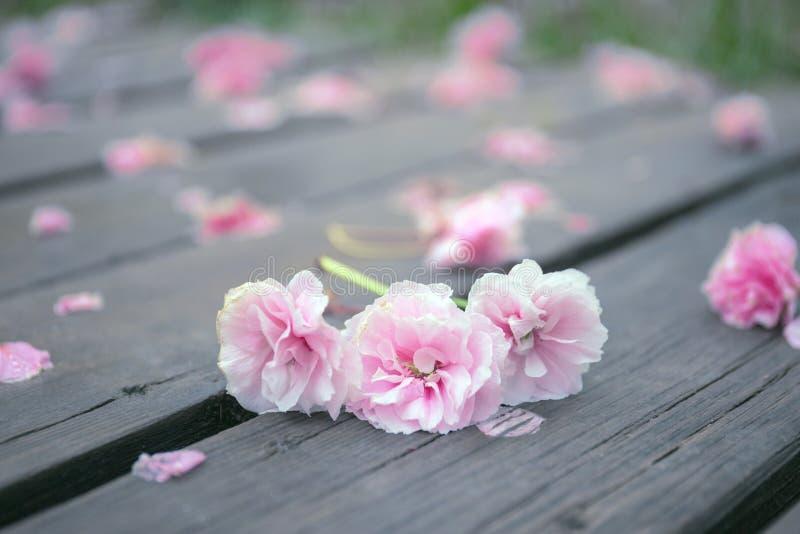Ressort, fleurs de cerisier roses tombant sur un chemin en bois photos stock