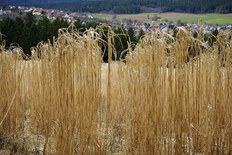 Ressort jaune de champ de maïs image libre de droits