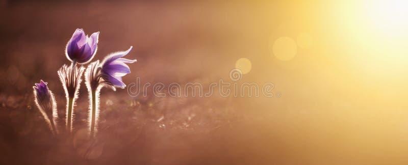 Ressort, printemps - fleurs pourpres photo libre de droits