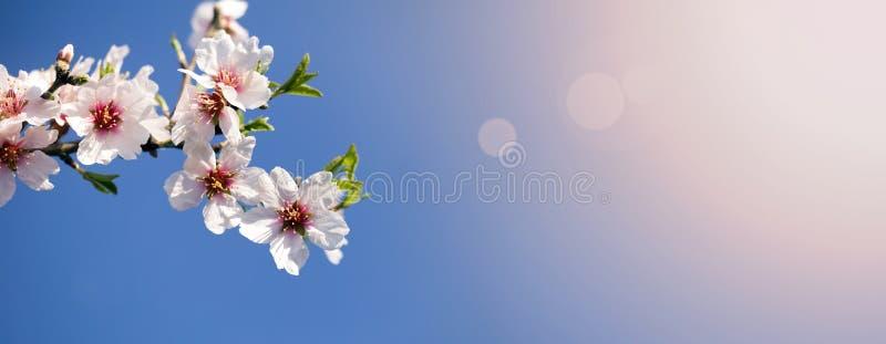 Ressort, printemps - le rose fleurit la bannière photo stock