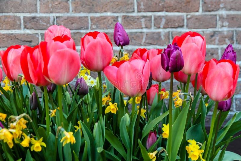 Ressort rouge-rose et tulipes pourpres fleurissant avec les tiges vertes sur un fond rustique de mur de briques à Amsterdam images libres de droits