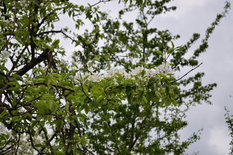 Ressort sensible fascinant de couleur de poire en mai images stock