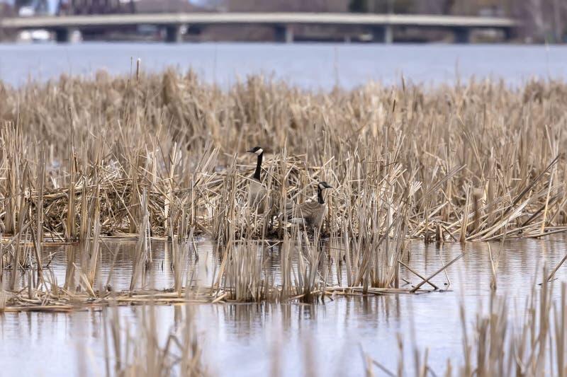 Ressort sur la rivière avec des oies du Canada images stock