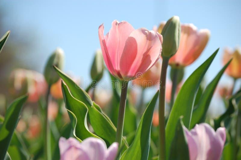 Ressort Tulip Festival photo stock