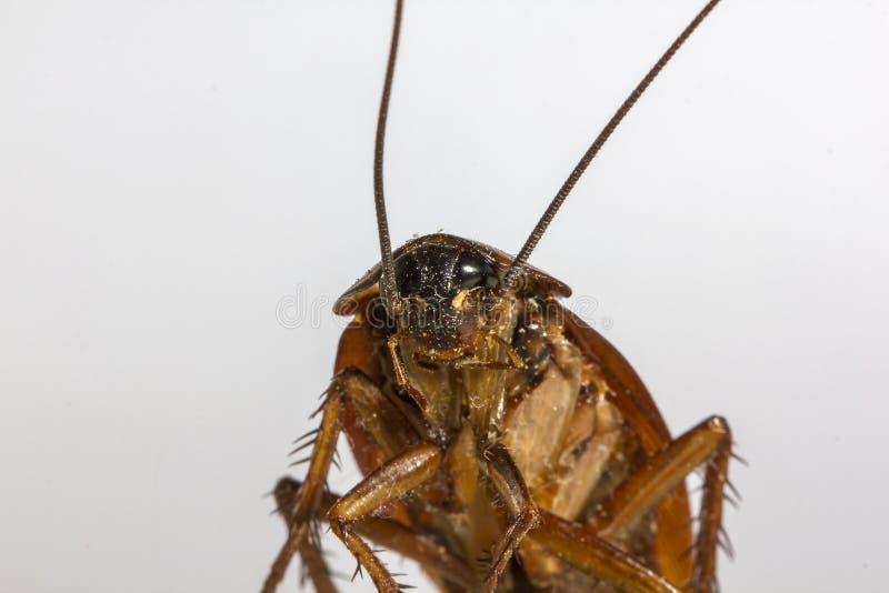 Rest av döda kackerlackor djuren är bärare arkivfoto