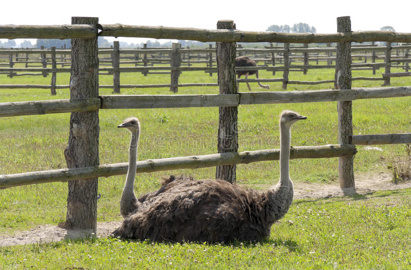 Rest Of Ostriches Royalty Free Stock Photos