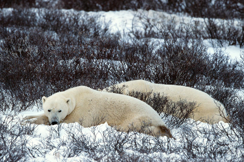 Download Rest of polar bears. stock image. Image of carnivore - 17369723