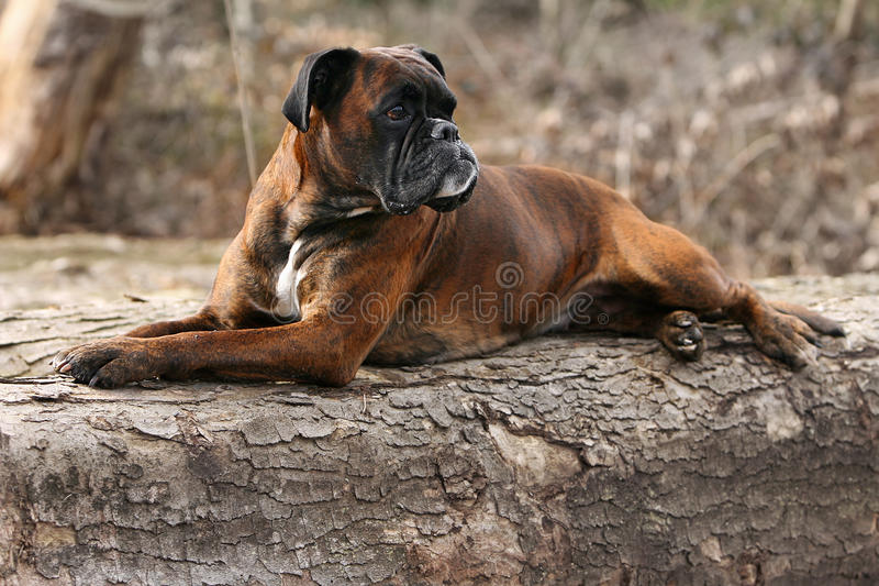 Rest on a tree trunk. A german boxer lying on a tree trunk royalty free stock photos
