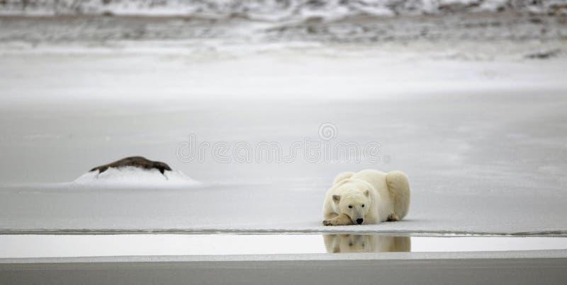 Rest van een ijsbeer. royalty-vrije stock afbeeldingen