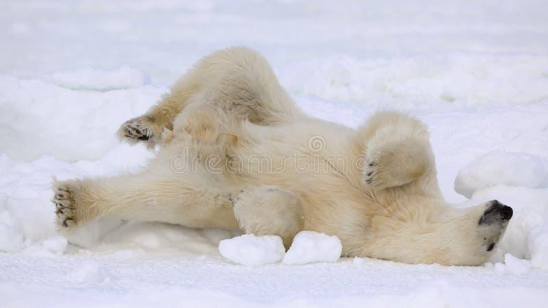 Rest van een ijsbeer. stock afbeelding
