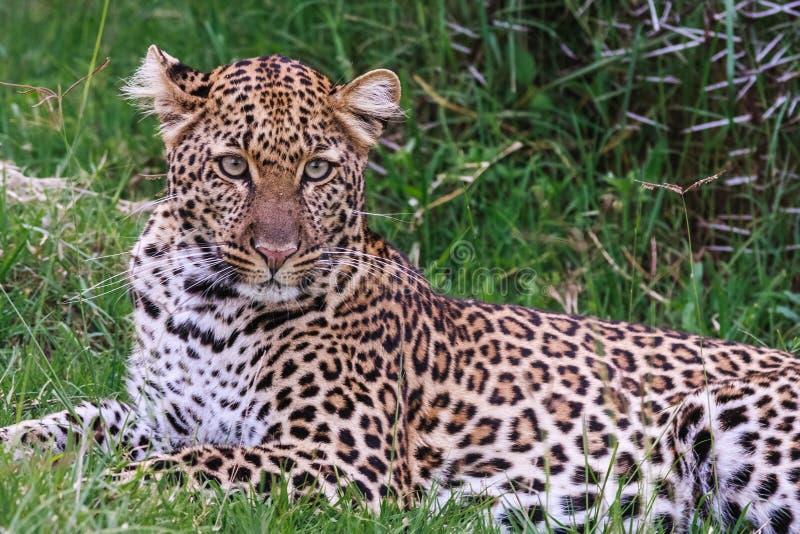 Rest van luipaard Op groene kruiden stock afbeelding