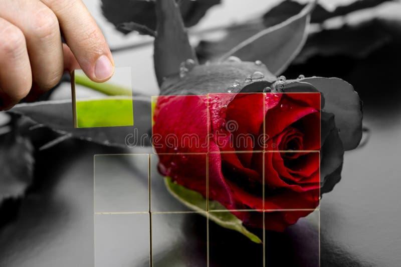Restauración de la belleza de una rosa roja foto de archivo