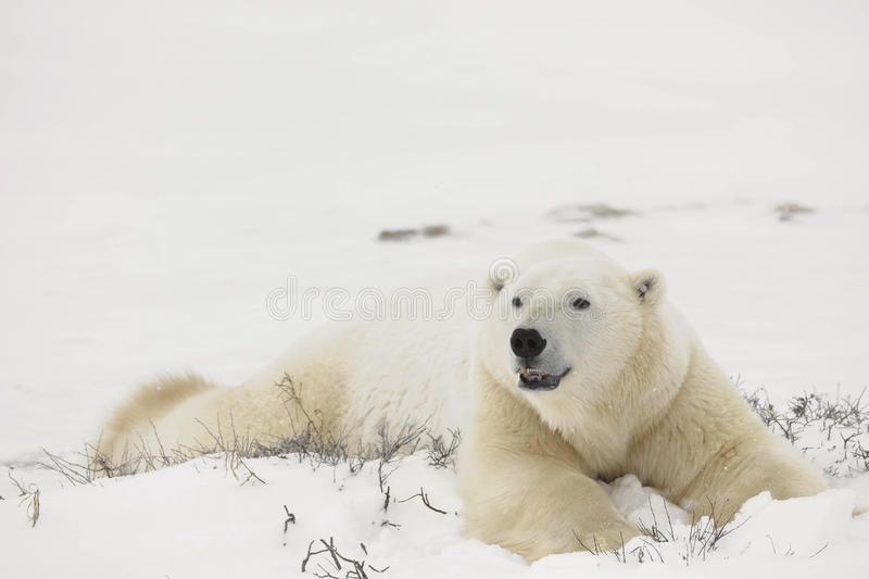 Reste d'ours blancs. photographie stock