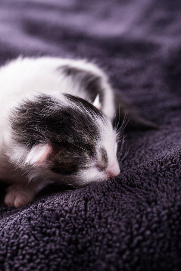 Reste mit einen eine-Tag-alt weiß-schwarze Katzen auf Decke lizenzfreie stockfotos