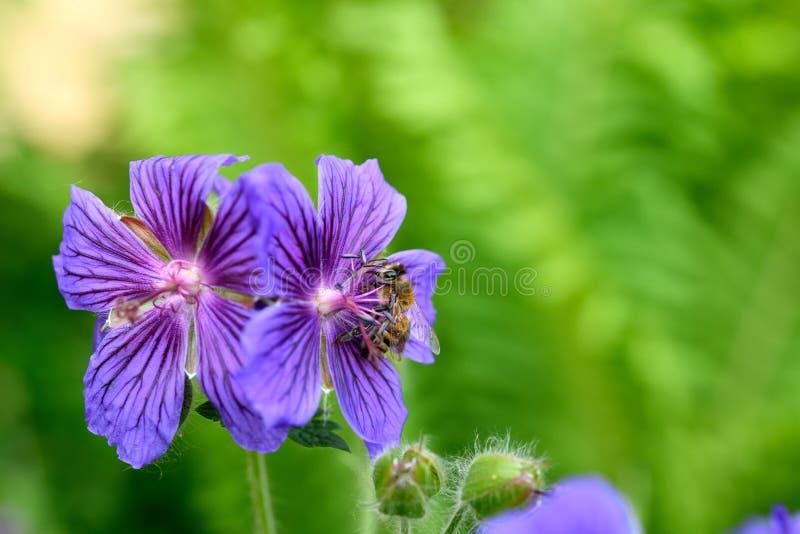 Restful пурпурный цветок с темными венами и пчелой меда стоковое фото
