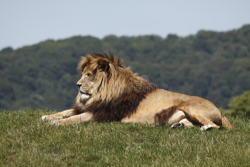 Resti del leone immagine stock
