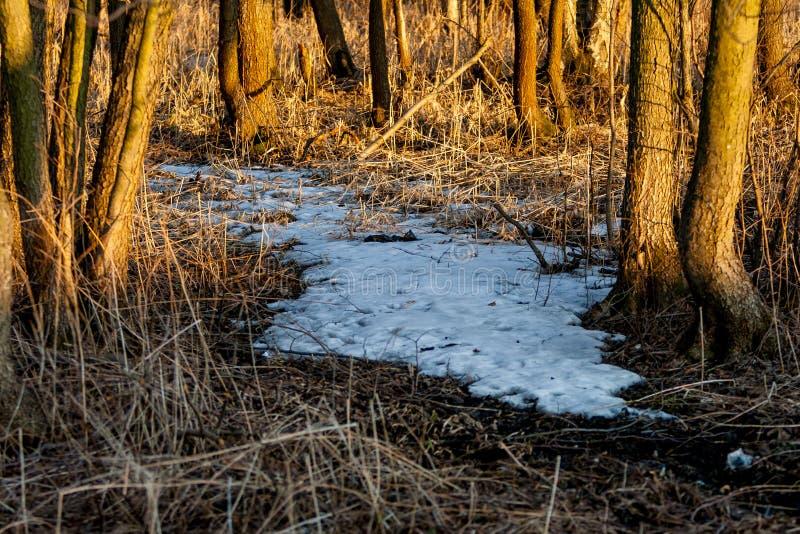 Resti della foresta della neve in primavera al tramonto L'anno scorso erba secca del ` s ad aprile fotografie stock libere da diritti